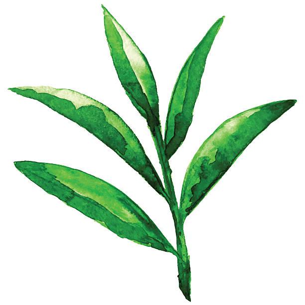 illustrazioni stock, clip art, cartoni animati e icone di tendenza di schizzo acquerello verde foglie - camellia sinensis