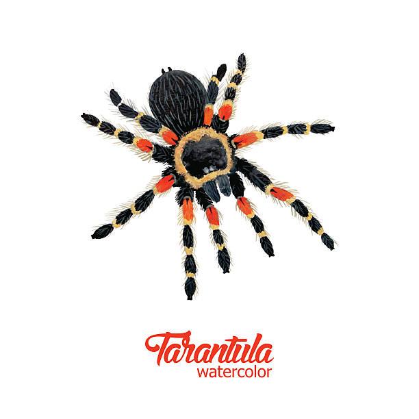 watercolor spider tarantula - tarantula stock illustrations