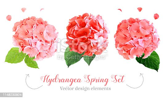 Watercolor style hydrangea flowers set. Coral, pink, orange, red colored. Vector illustration for simple, spring floral wedding design. Elegant decoration detail.All elements are isolated and editable