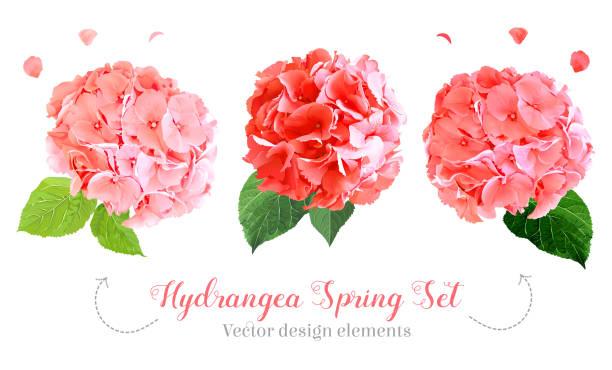 stockillustraties, clipart, cartoons en iconen met aquarel stijl hortensia bloemen set - hortensia