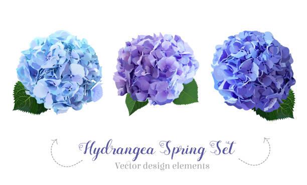 stockillustraties, clipart, cartoons en iconen met aquarel hydrangea bloemen stijlenset - hortensia