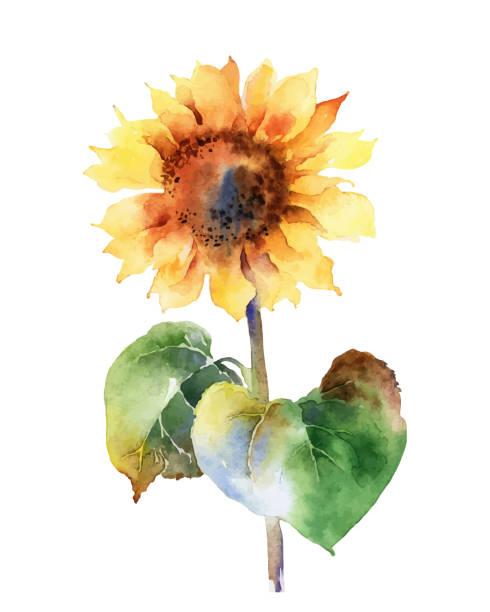 illustrazioni stock, clip art, cartoni animati e icone di tendenza di watercolor sunflower isolated on white background - mika