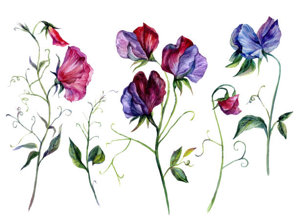 Watercolor Sweet Pea Flowers Collection vector art illustration