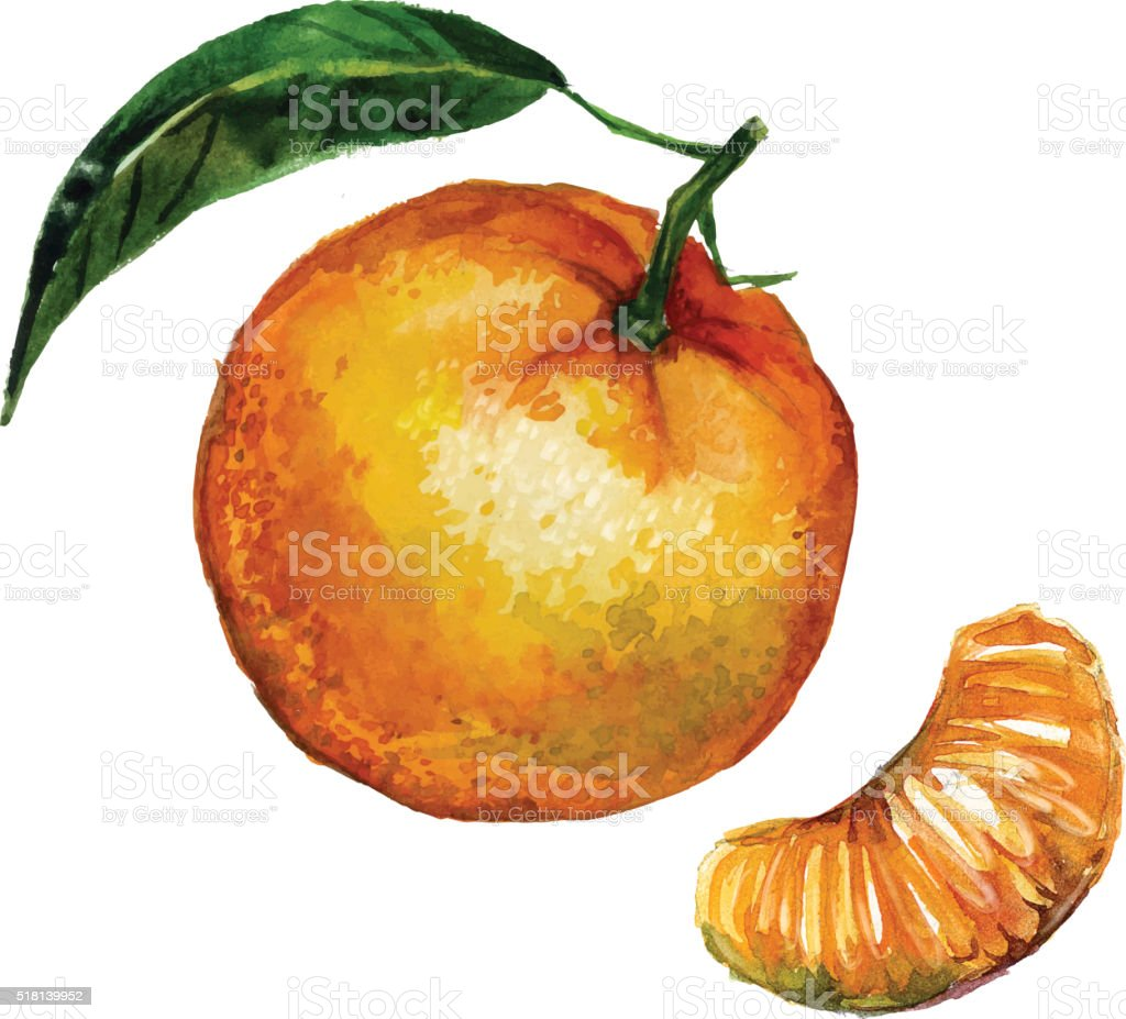 Watercolor tangerine isolated vector art illustration