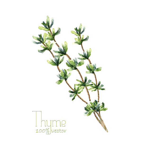 Watercolor thyme. Watercolor thyme. Hand draw branches of thyme illustration. Herbs vector object isolated on white background. Kitchen herbs and spices banner. thyme stock illustrations