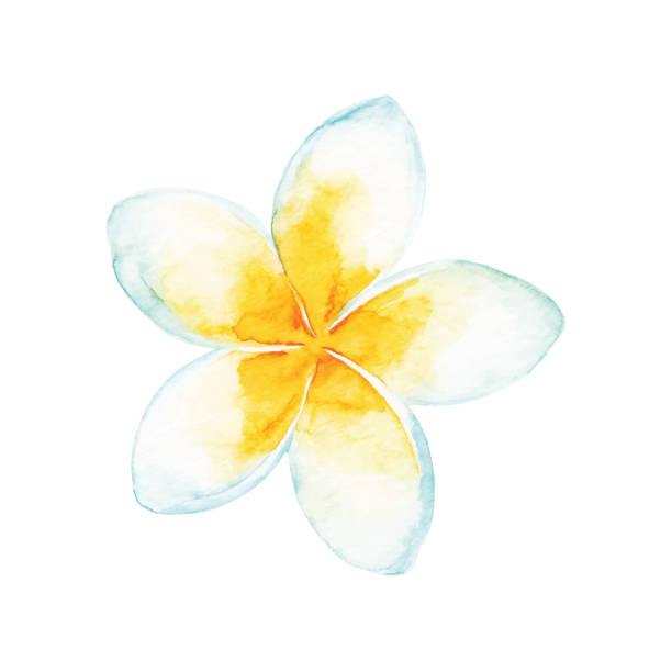 Watercolor Tropical Flower Vector illustration of tropical flower. frangipani stock illustrations