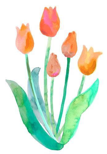 watercolor tulip