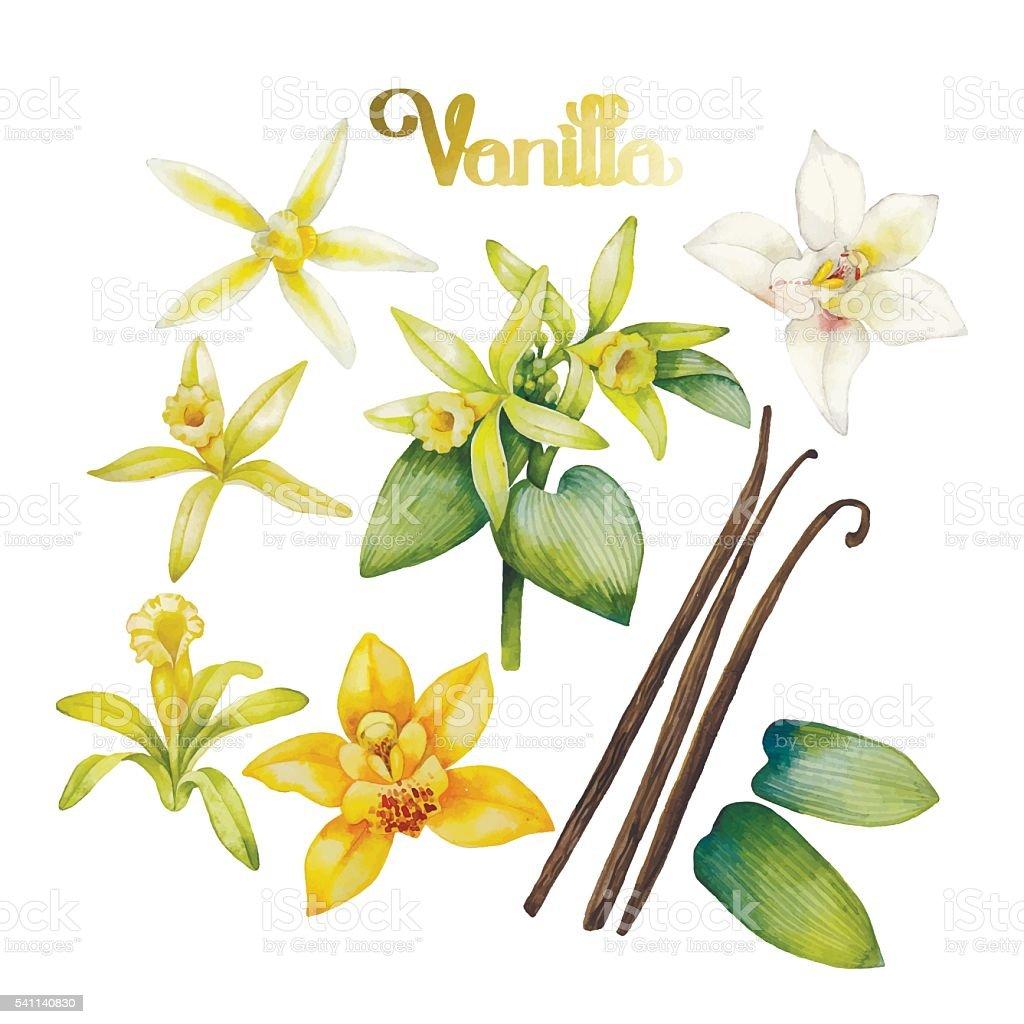 Watercolor vanilla flower vector art illustration