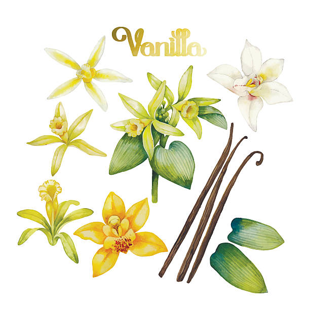 watercolor vanilla flower - plant pod stock illustrations