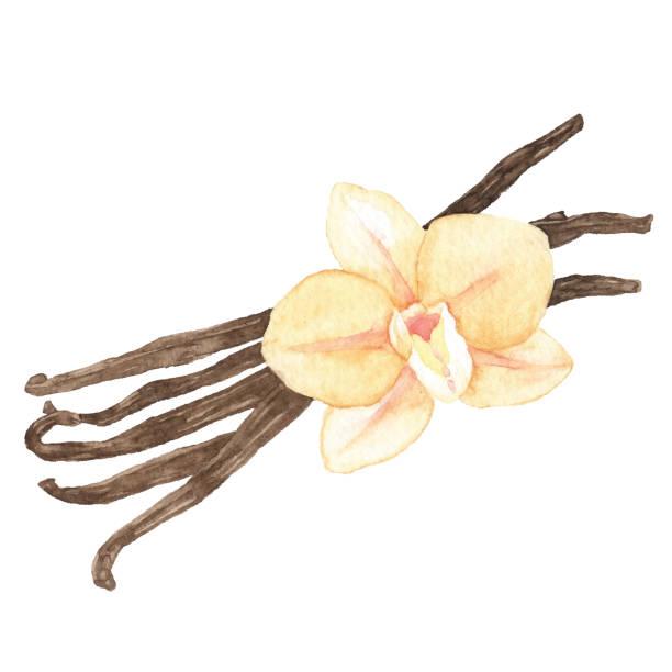 stockillustraties, clipart, cartoons en iconen met aquarel vanille - vanille
