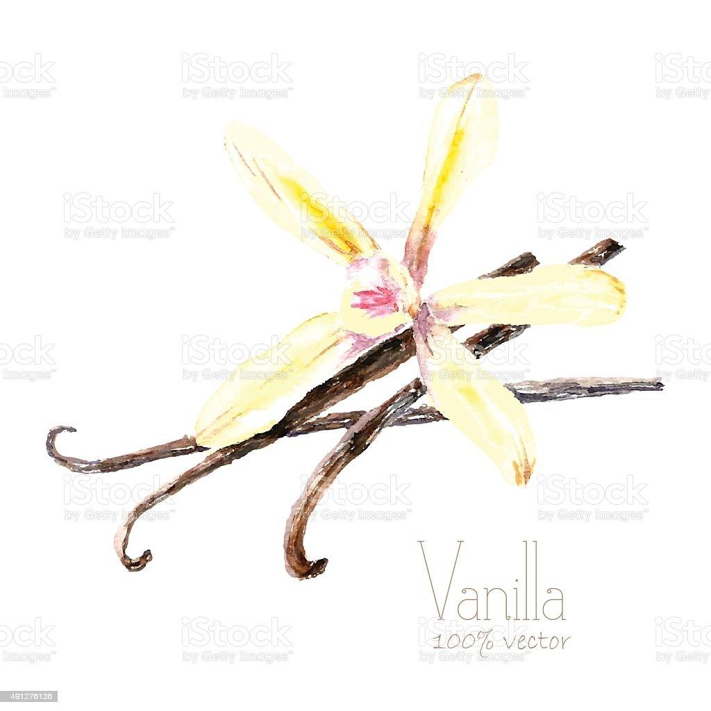 Watercolor vanilla. vector art illustration