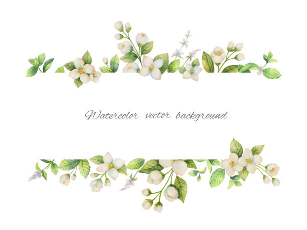 watercolor vector banner of flowers jasmine and mint branches isolated on white background. - flowers stock illustrations, clip art, cartoons, & icons