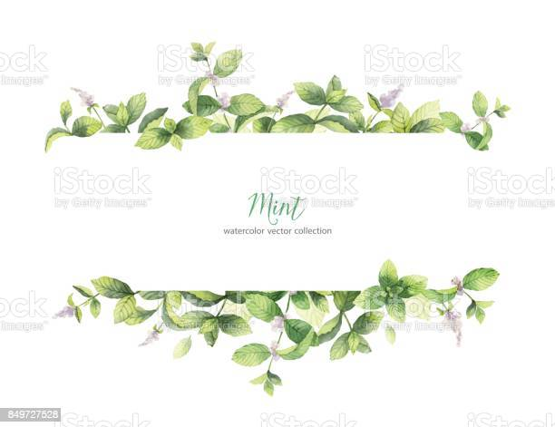 Watercolor vector banner of mint branches isolated on white vector id849727528?b=1&k=6&m=849727528&s=612x612&h=vcsy38zbc1mduynx  csim5xjbehwpztqci6yu7igyy=