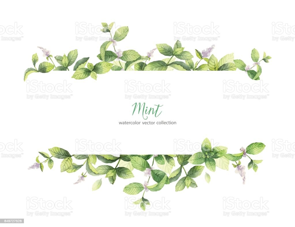 Watercolor vector banner of mint branches isolated on white background. vector art illustration
