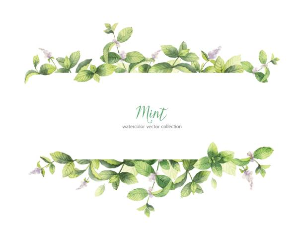 watercolor vector banner of mint branches isolated on white background. - лекарственная трава stock illustrations