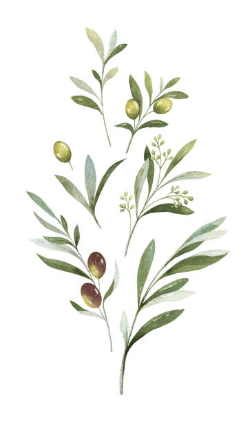 Watercolor vector bouquet of olive branches and flowers. Watercolor vector bouquet of olive branches and flowers. Floral illustration for wedding stationary, greetings, kitchen decor, natural cosmetics, , fashion and invitations branch plant part stock illustrations