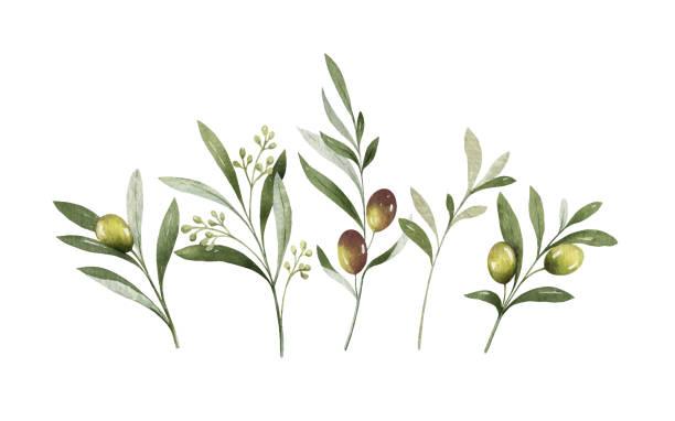 akwarela wektor bukiet gałązek oliwnych i kwiatów. - gałąź część rośliny stock illustrations