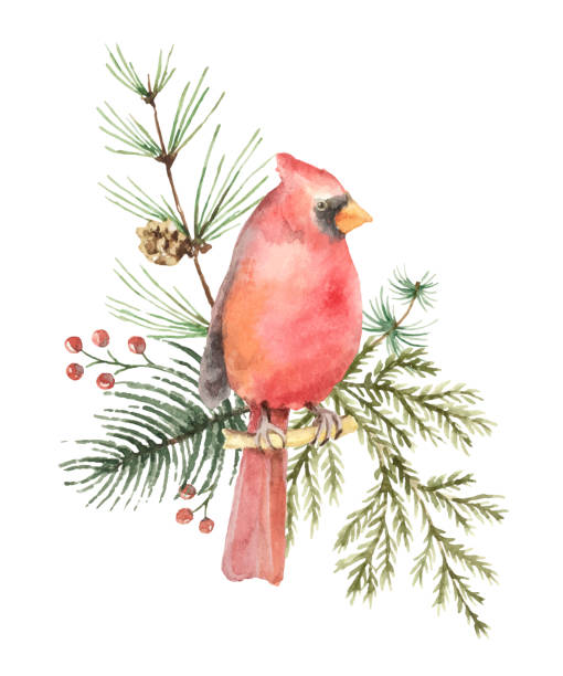 Christmas Cardinals Clipart.Best Cardinal Flower Illustrations Royalty Free Vector
