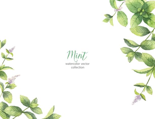 Watercolor vector frame of mint branches isolated on white background. Watercolor vector frame of mint branches isolated on white background. Floral illustration for design greeting cards, wedding invitations, natural cosmetics, packaging and tea. mint candy stock illustrations