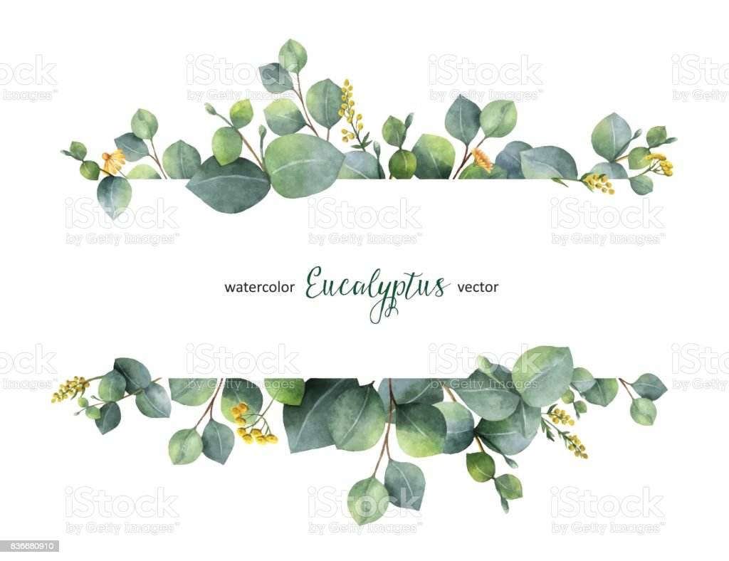 Watercolor vector green floral banner with silver dollar eucalyptus leaves and branches isolated on white background. vector art illustration