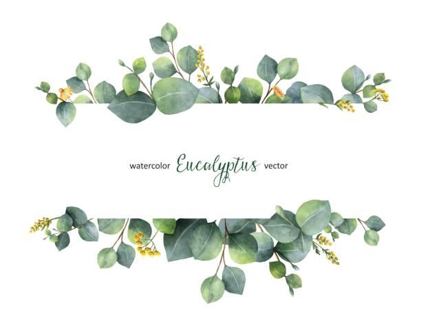 illustrazioni stock, clip art, cartoni animati e icone di tendenza di watercolor vector green floral banner with silver dollar eucalyptus leaves and branches isolated on white background. - foglie
