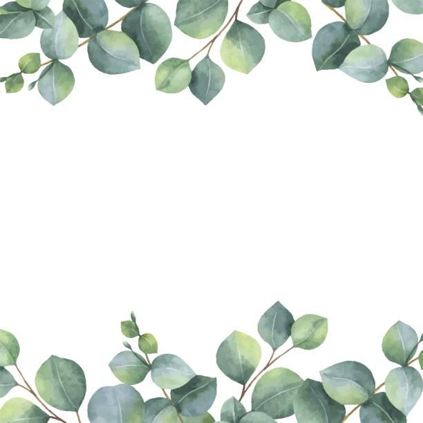 bildbanksillustrationer, clip art samt tecknat material och ikoner med akvarell vektor grön blommig kort med silver dollar eukalyptus blad och grenar isolerad på vit bakgrund. - eucalyptus
