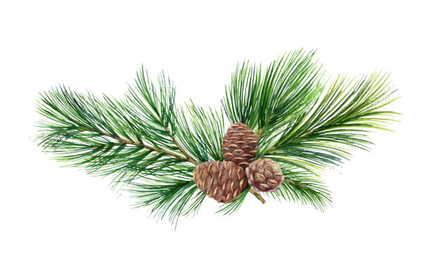 Watercolor vector green spruce wreath with cones, Christmas tree. Watercolor vector green spruce wreath with cones, Christmas tree. Illustration for greeting cards and invitations isolated on white background. pine tree stock illustrations