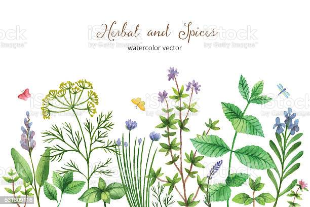 Watercolor vector hand painted banner with wild herbs and spices vector id531309116?b=1&k=6&m=531309116&s=612x612&h=w eirz1gieekoqfg0cdlvws9u82o9uff2vw f04z4xe=