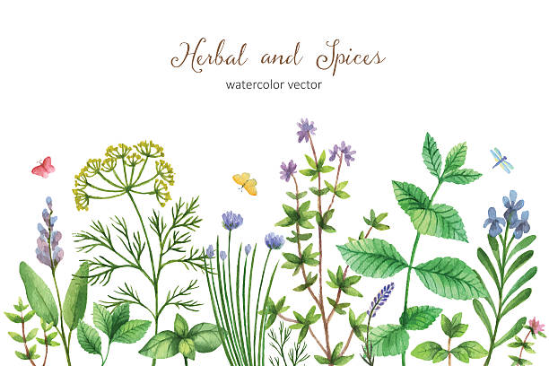 Watercolor vector hand painted banner with wild herbs and spices. Watercolor vector hand painted banner with wild herbs and spices. The perfect design for greeting card, skrabbuking, menus, packaging, kitchen decor, cosmetics, natural and organic products. Background with space for text. dill stock illustrations