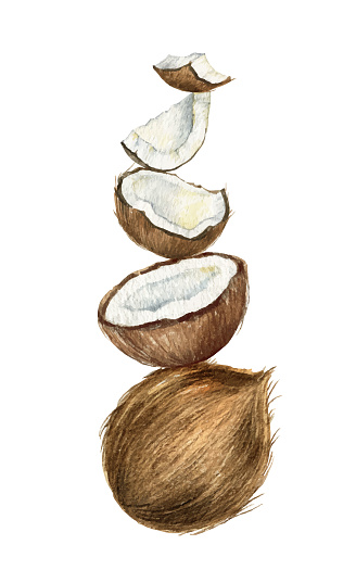 Watercolor vector hand painted composition of coconut in the shape of a pyramid.