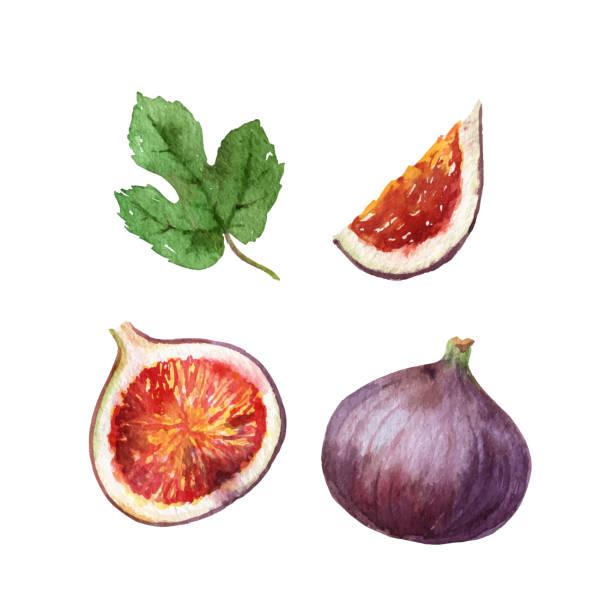 bildbanksillustrationer, clip art samt tecknat material och ikoner med akvarell vektor handmålade jucy fig frukt set. - fikon