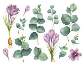 Watercolor vector hand painted set with eucalyptus leaves and purple flowers of saffron. Floral illustration isolated on white background.
