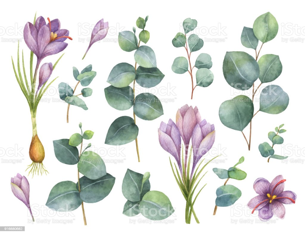 Watercolor vector hand painted set with eucalyptus leaves and purple flowers of saffron. vector art illustration