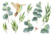 Watercolor vector hand painted set with eucalyptus leaves and Hummingbird.