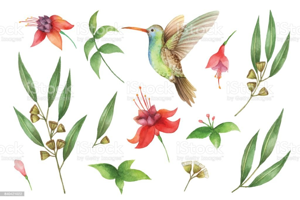 Watercolor vector hand painted set with eucalyptus leaves and Hummingbird. vector art illustration