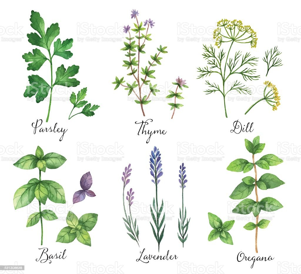 Watercolor vector hand painted set with wild herbs and spices. vector art illustration