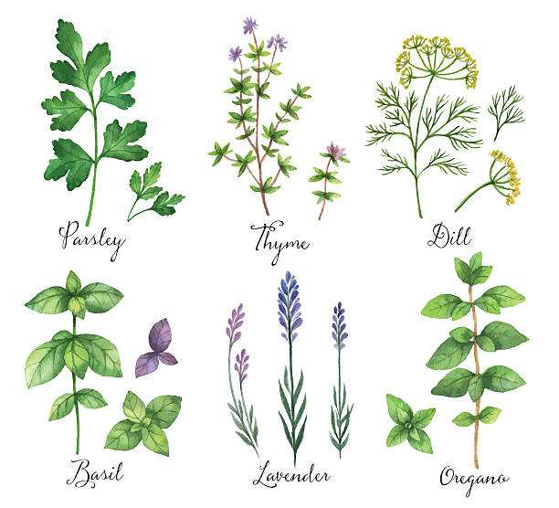 Watercolor vector hand painted set with wild herbs and spices. Watercolor vector hand painted set with wild herbs and spices. The perfect design for greeting card, skrabbuking, menus, packaging, kitchen decor, cosmetics, natural and organic products. Design for food, farmers production and medicine. lavender plant stock illustrations