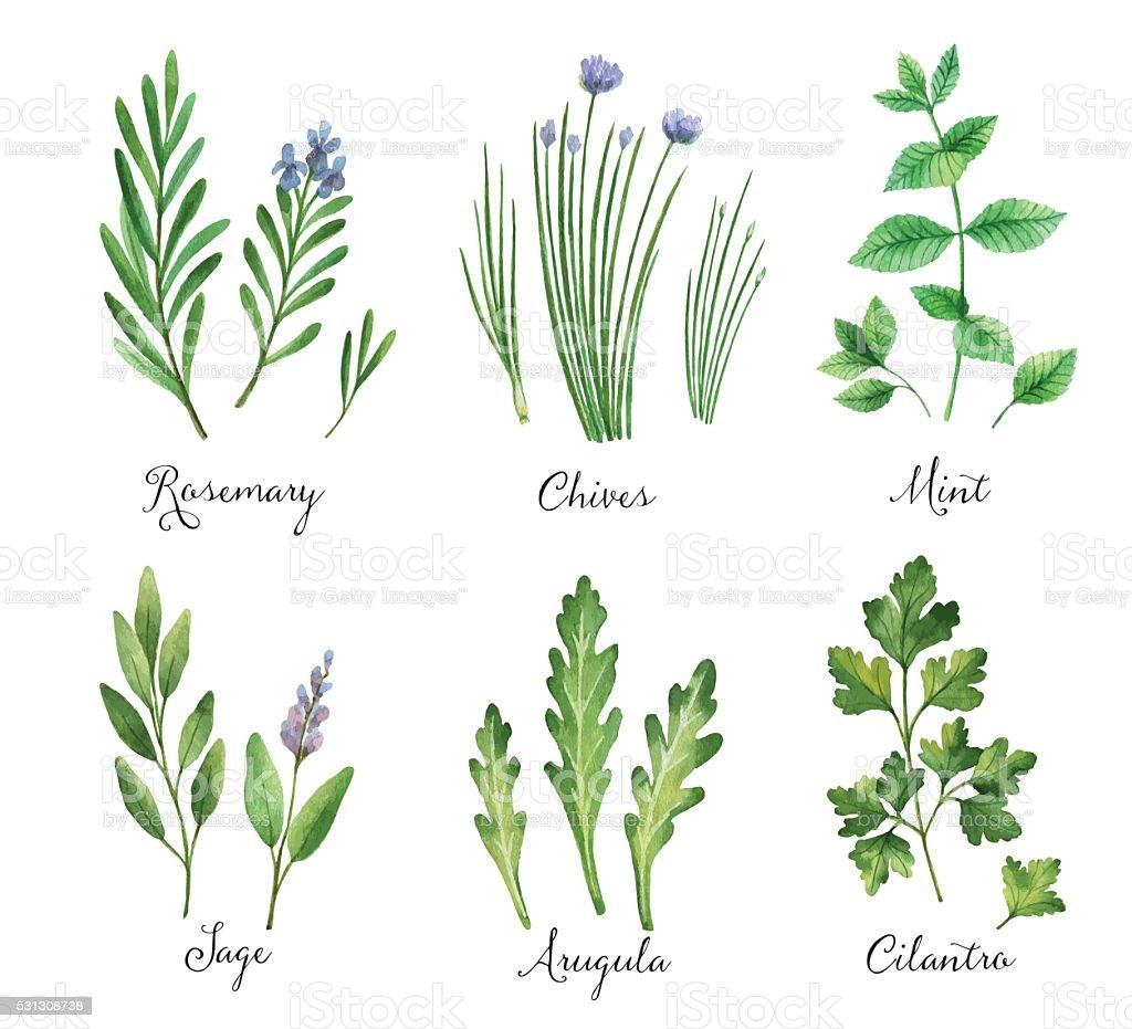 Mão em aquarela pintada vetor definido com ervas aromáticas e especiarias. - ilustração de arte em vetor