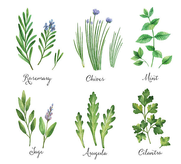 watercolor vector hand painted set with wild herbs and spices. - sage stock illustrations, clip art, cartoons, & icons