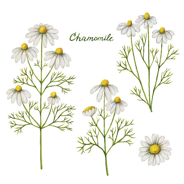 Watercolor vector illustration of chamomile. Watercolor vector illustration of chamomile. Healing Herbs for design Natural Cosmetics, aromatherapy, medicine, health products and homeopathy. chamomile plant stock illustrations