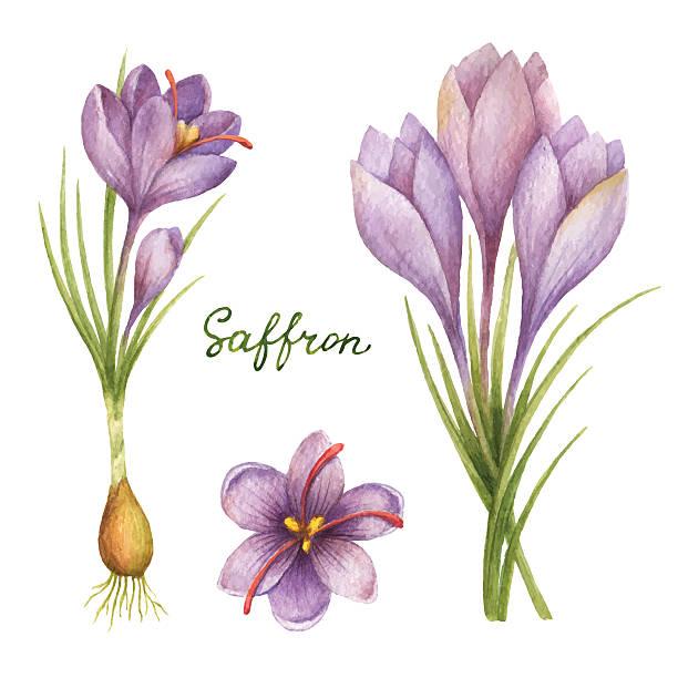illustrations, cliparts, dessins animés et icônes de watercolor vector illustration of saffron. - crocus