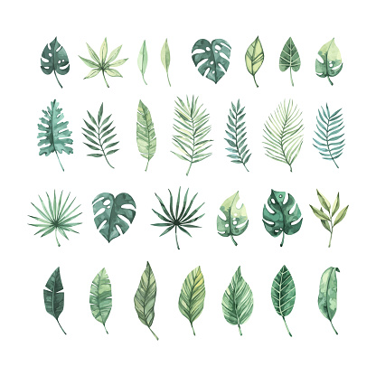 Watercolor vector illustration. Summer tropical collection with banana leaves, monstera and palm leaves. Perfect for wedding invitations, prints, postcards, posters