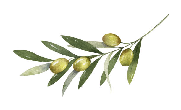 Watercolor vector olive branch with leaves and fruits. Watercolor vector olive branch with leaves and fruits isolated on white background. Floral illustration for wedding stationary, greetings, wallpapers, fashion and invitations branch plant part stock illustrations