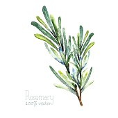 Watercolor rosemary. Hand draw rosemary illustration. Herbs vector object isolated on white background. Kitchen herbs and spices banner.