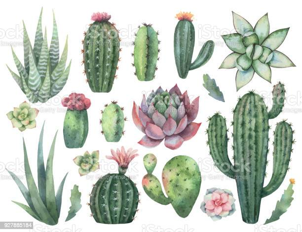 Watercolor vector set of cacti and succulent plants isolated on white vector id927885184?b=1&k=6&m=927885184&s=612x612&h= 6llskrbyn5cwdp0cqnobnhrll8l 20mo1rhzwcixnu=