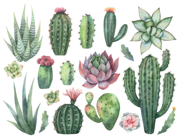 watercolor vector set of cacti and succulent plants isolated on white background. - desert stock illustrations