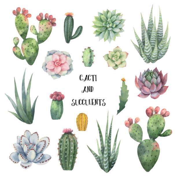stockillustraties, clipart, cartoons en iconen met aquarel vector set van cactussen en succulenten geïsoleerd op een witte achtergrond. - cactus