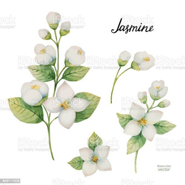 Watercolor vector set of flowers and branches jasmine isolated on a vector id849711528?b=1&k=6&m=849711528&s=612x612&h=bbvi2lktb zdbcgjuizwb2kljshev3c 2gujnqdlztq=