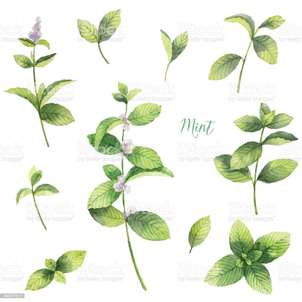 Watercolor vector set of mint branches isolated on white background. vector art illustration