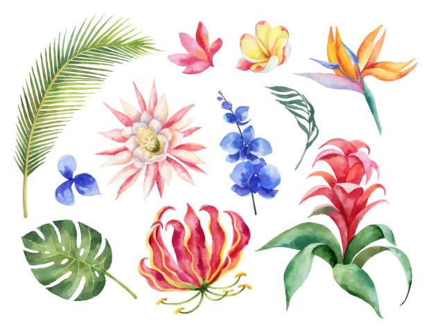 Watercolor vector set with tropical leaves and bright exotic flowers isolated on white background. Watercolor vector set with tropical leaves and bright exotic flowers isolated on white background. Illustration for design wedding invitations, greeting cards, postcards. frangipani stock illustrations